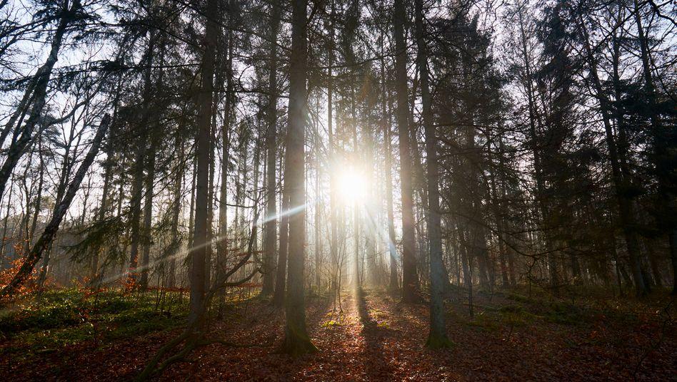 Steigert die Wanderlust: Sonne im Wald