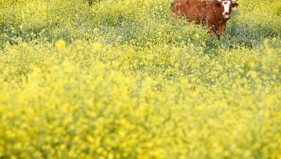 Kuh beim Grasen auf einer Weide