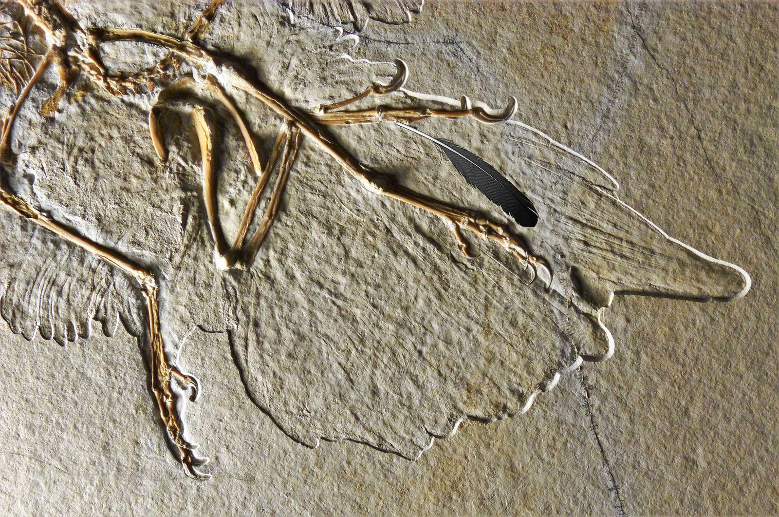 Studie: «Urfeder» gehörte Flugsaurier Archaeopteryx