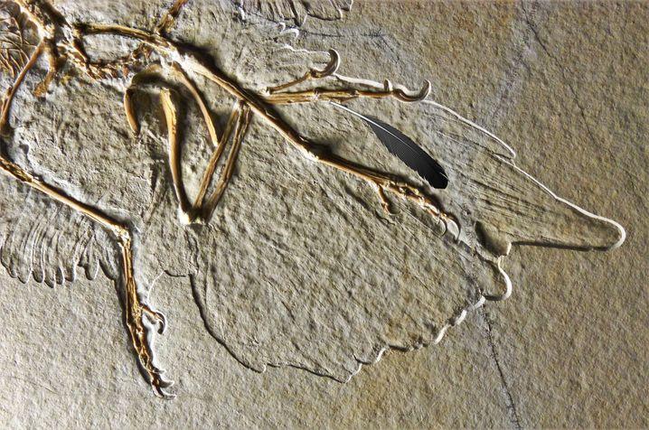 Fossil eines Archaeopteryx aus dem Altmühltal