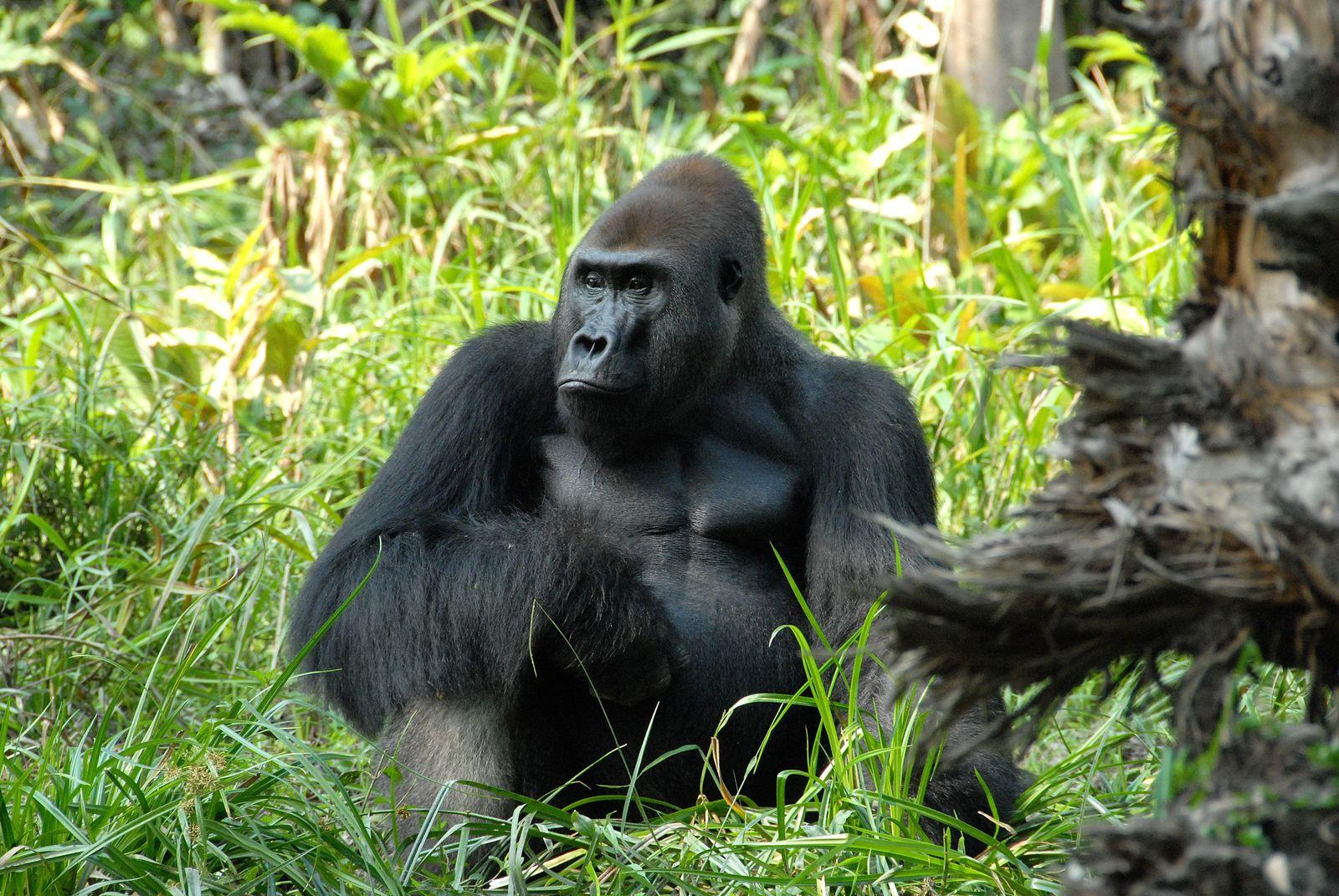 EINMALIGE VERWENDUNG WWF/ Gorilla