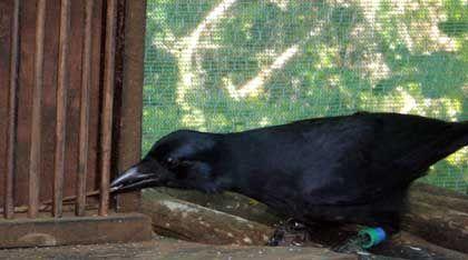 Raffinierte Technik: Die Krähe benutzt einen kleinen Stab, um einen größeren Stab hinter dem Gitter hervor zu holen. Nur damit - und nicht mit dem kurzen - gelangt das Tier an eine Leckerei
