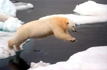 Eisbär im Arktischen Meer: Lebensraum droht wegzuschmelzen