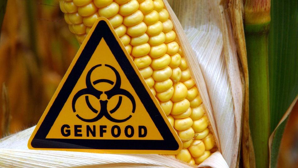 Gentechnisch veränderter Maiskolben (Symbolbild, Archiv)
