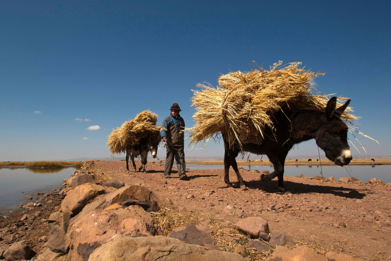 A resident of Cohana Bay transports barley with his donkeys on the shores of Titicaca lake