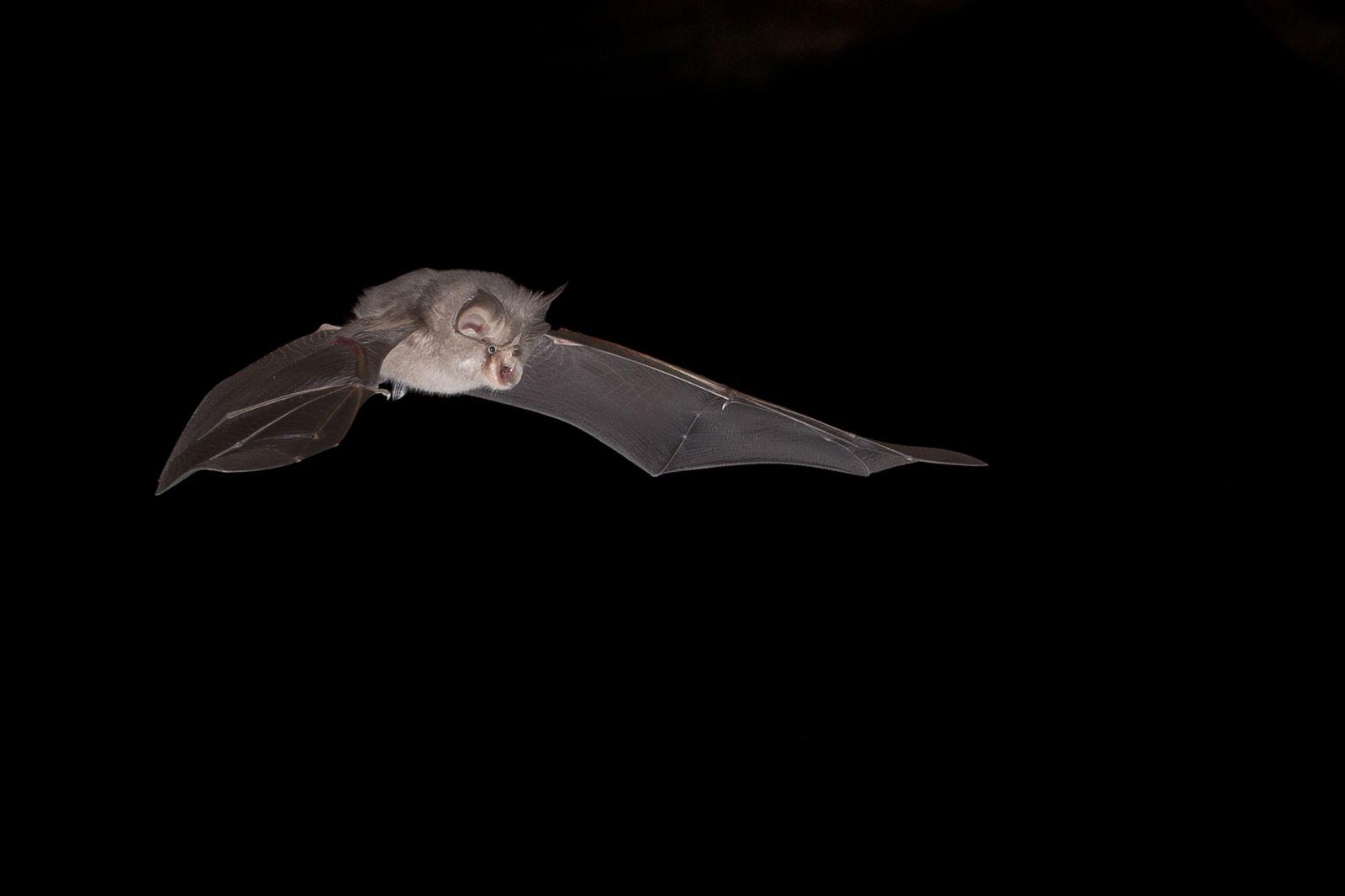Kleine Hufeisennase, Rhinolophus hipposideros, Lesser horseshoe bat