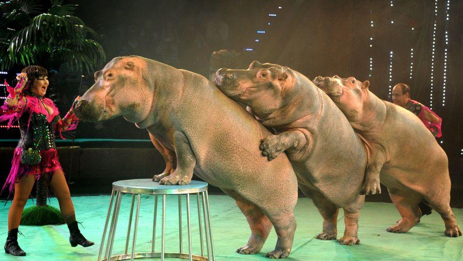 Zirkus im weißrussischen Minsk: Artgerechte Haltung von Nilpferden sieht anders aus
