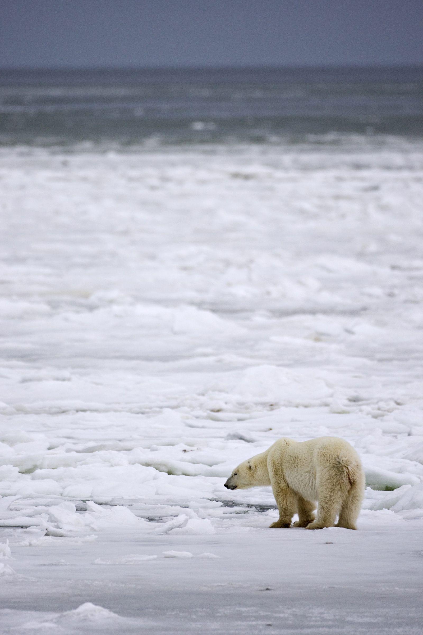 Arktis/Eisbär/Kanada