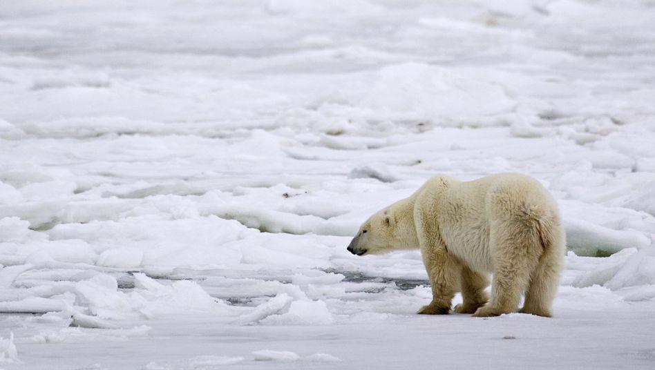 Eisbärenweibchen in Kanada: Belastung durch Quecksilber steigt