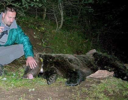 Betäubte Jurka: Frecher Bärennachwuchs