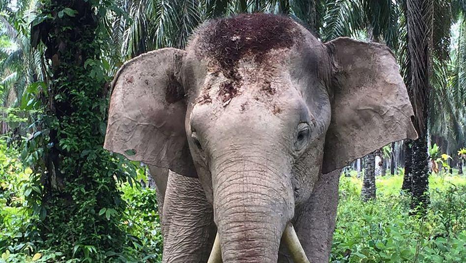 Elefant mit seltsam gebogenen Stoßzähnen