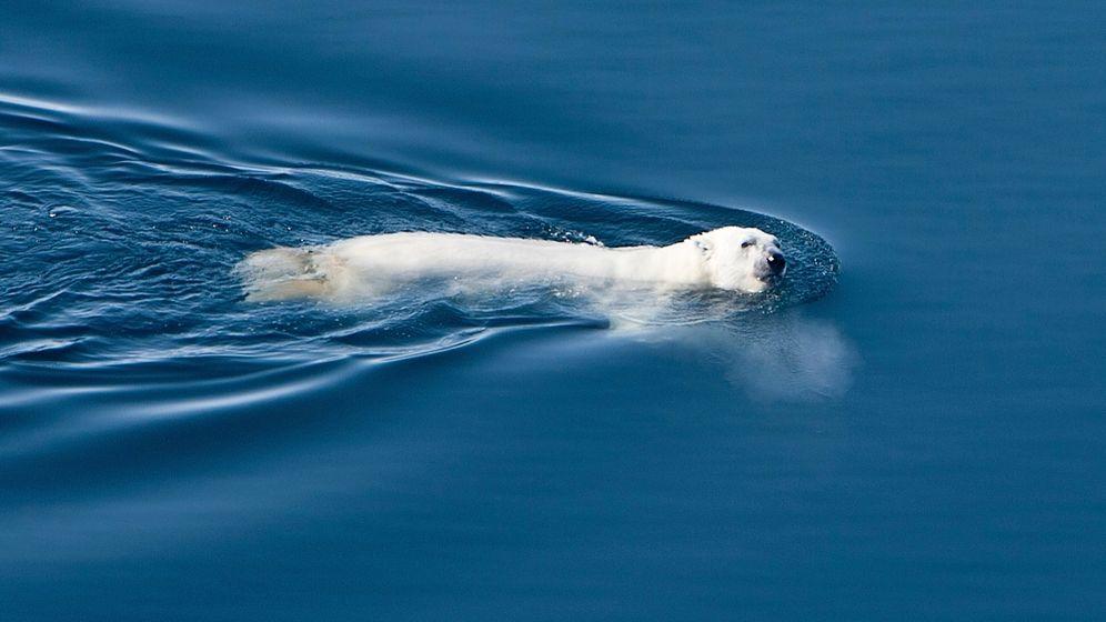 Alaska: Eisbären schwimmen Ultra-Marathon