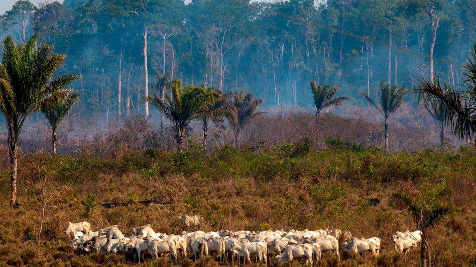 Rinder im Regenwald: Mehr Platz für Ackerbau und Viehzucht