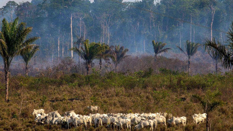Rinderherde im Amazonas-Gebiet: Mehr Fleisch für Europa