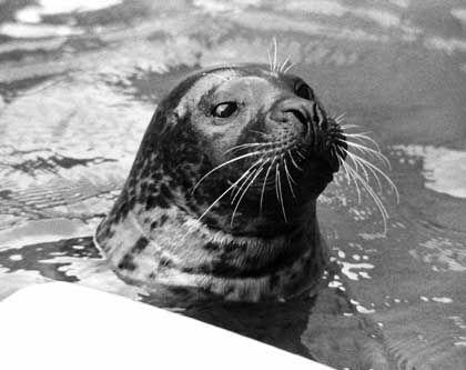 """Seehund """"Hoover"""" im Hafenaquarium von Boston: """"Hey, you! Get outa there!"""""""