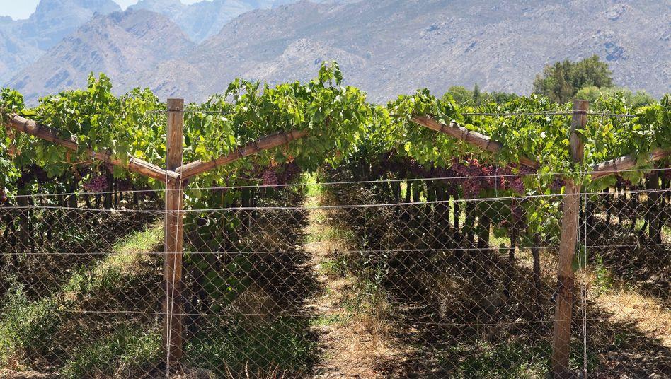 Weinanbaugebiet in Südafrika