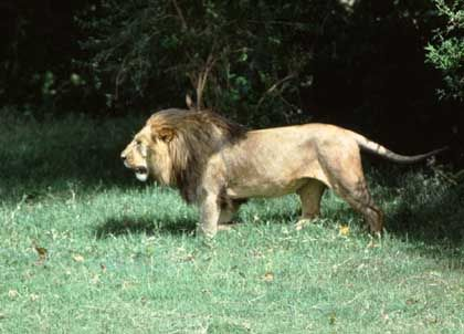 Löwe in der Tsavo-Region: Kultur der Menschenfresserei?