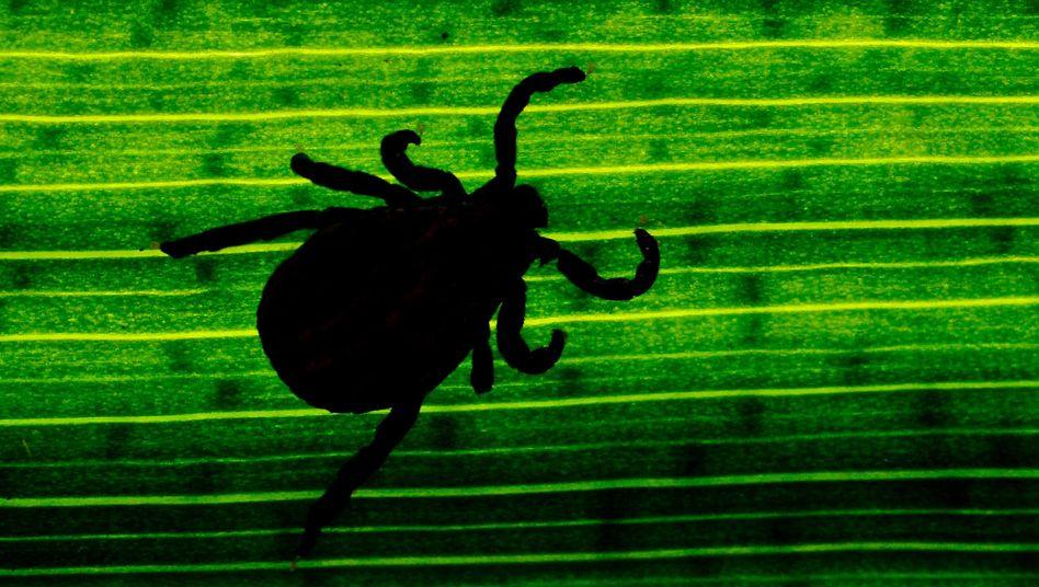 Zecke auf einem Blatt: Die Blutsauger können diverse Krankheitserreger übertragen
