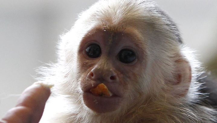 Photo Gallery: Pet Monkey Waiting for Justin Bieber