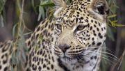 Leopard beißt Kleinkind in Kruger-Nationalpark tot