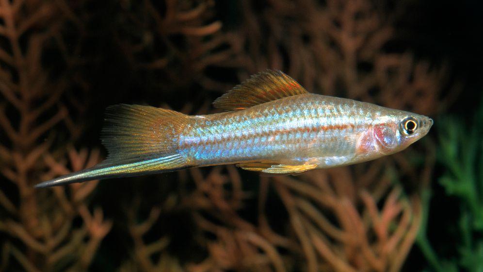 Evolution: Fisch-Damen mit Schwert-Faible