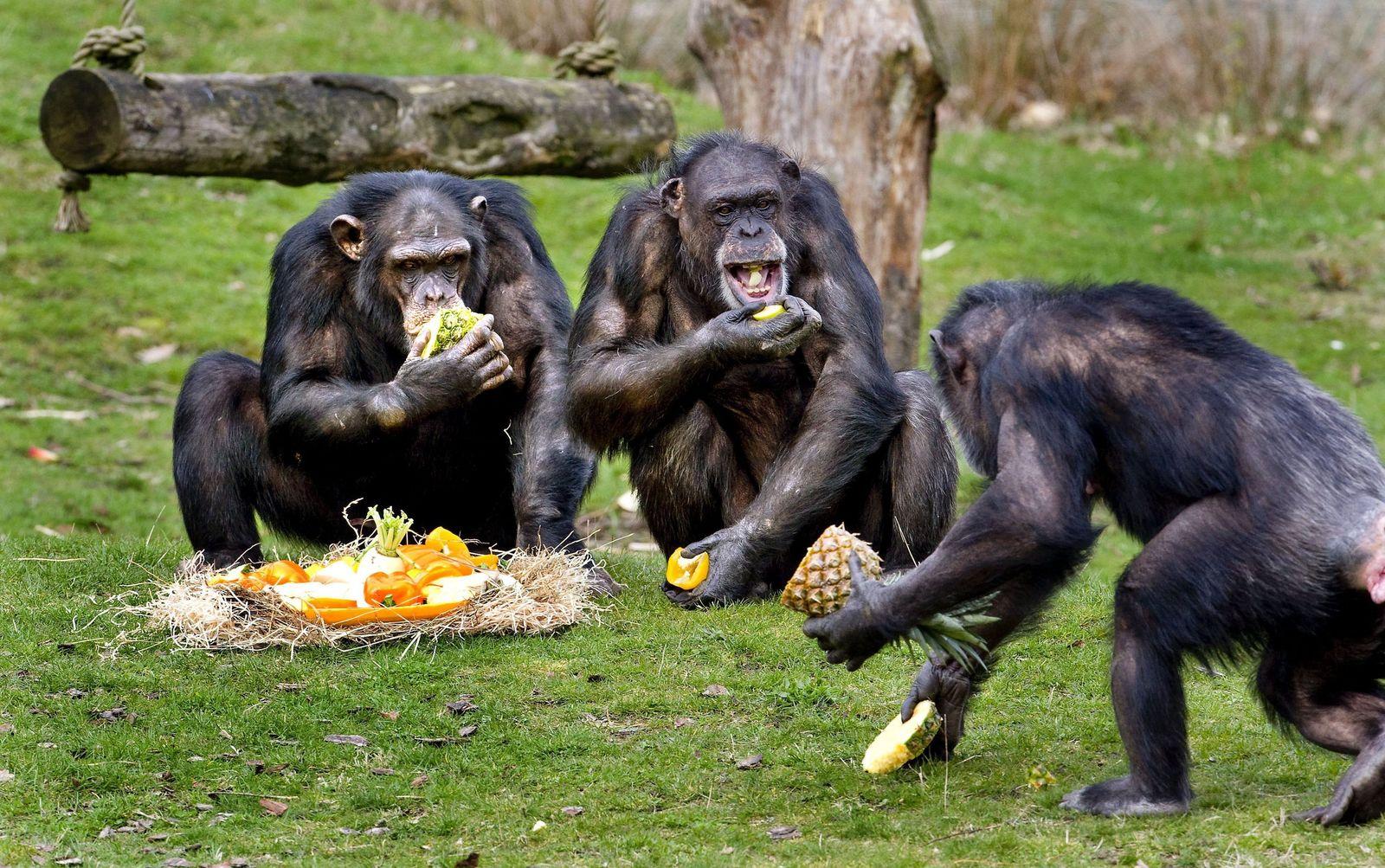 Schimpansen / Safaripark