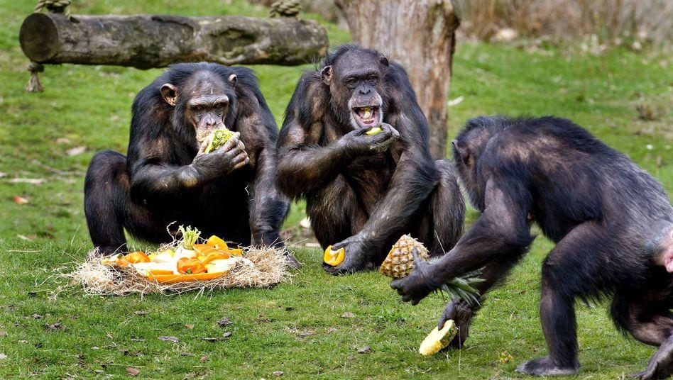 Schimpansen in Safaripark, Niederlande: Futter garantiert