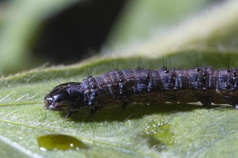 Raupe Spodoptera frugiperda: Trickreiche Verteidigung