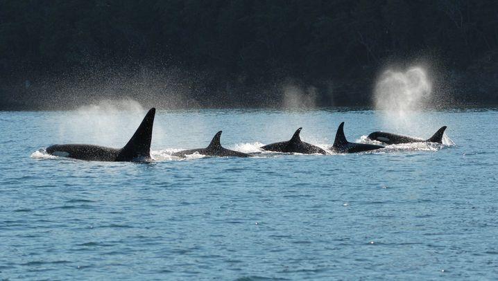 Orca-Weibchen auf Futtersuche: Weise Wale