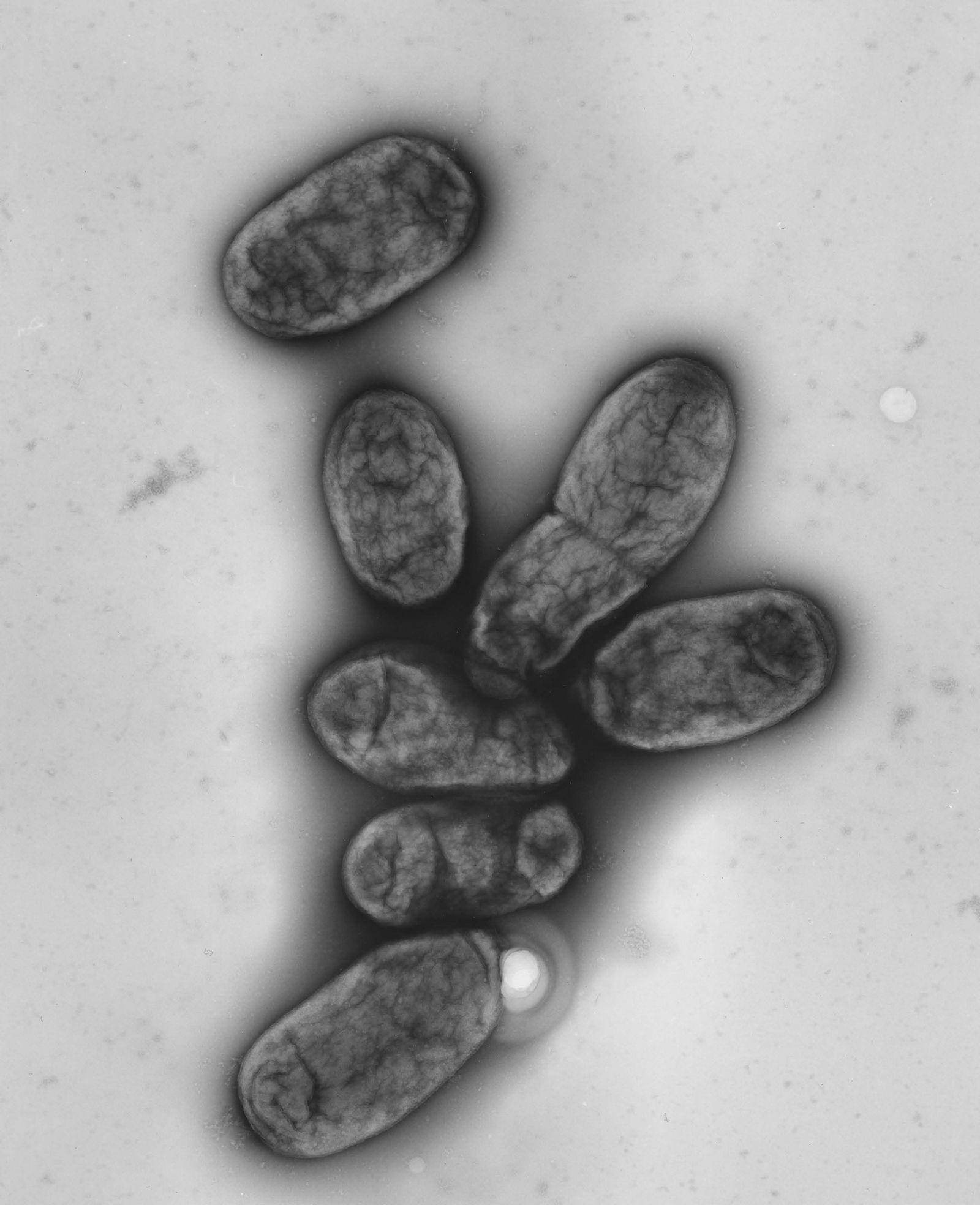 Pest Bakterien