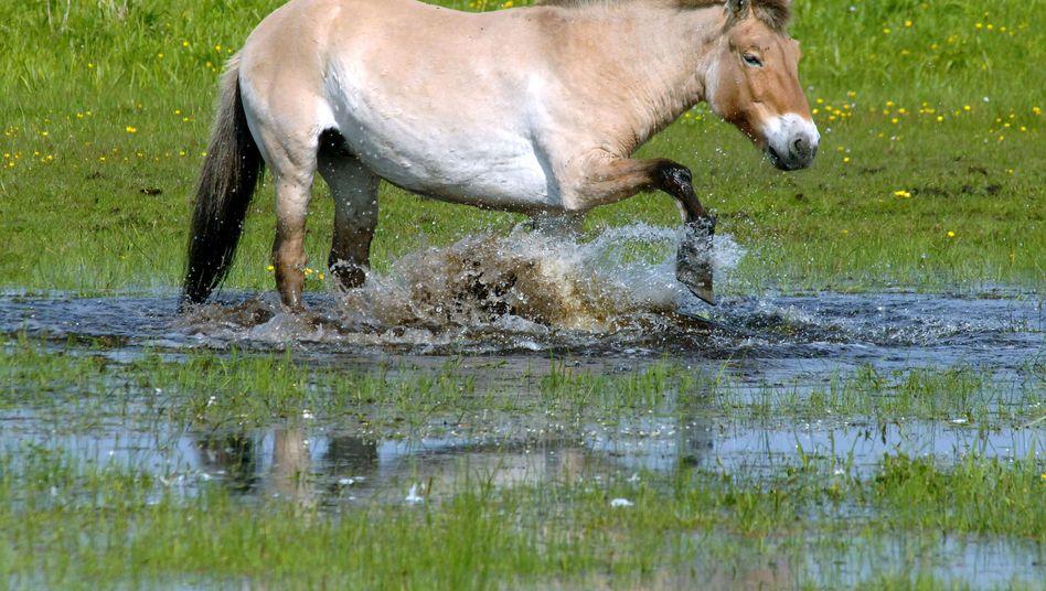 Przewalski-Pferd im Wildpark Schorfheide: Nur weitläufig mit Hauspferden verwandt