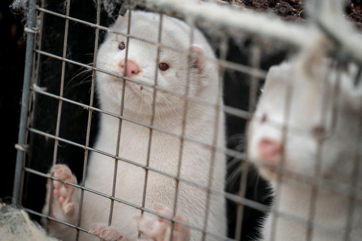 Nerze in Käfigen auf einer Farm in Dänemark