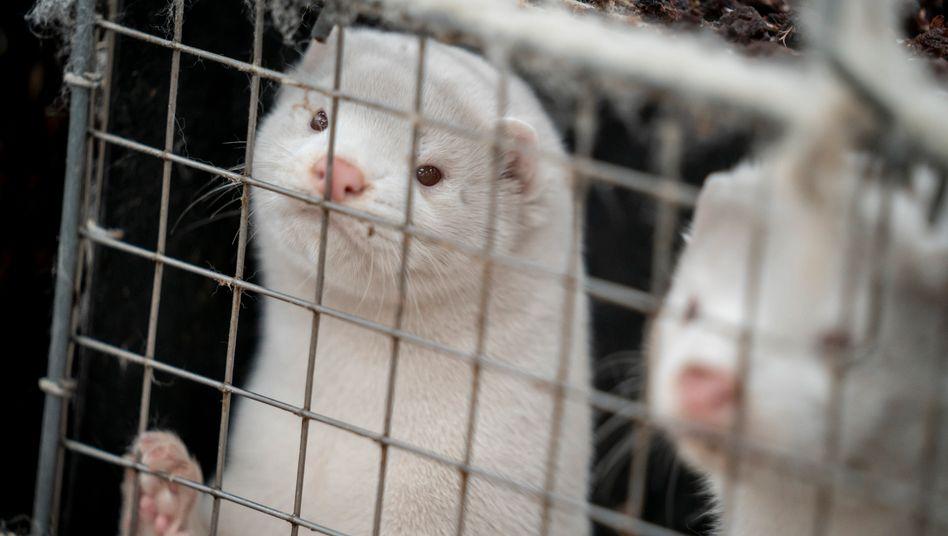 """Nerze in Käfigen auf einer Farm in Naestved: """"Viele empfängliche Tiere auf recht engem Raum, das begünstigt die Virusvermehrung"""""""