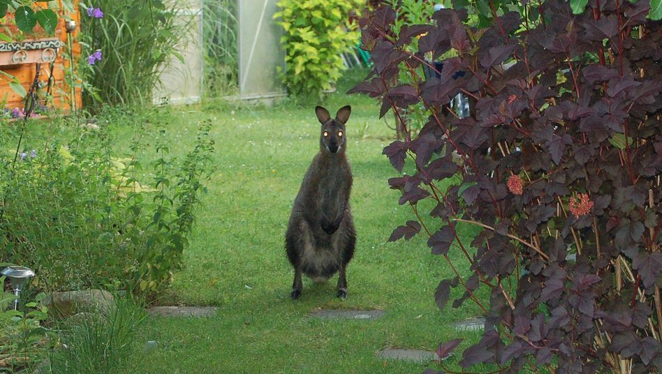 Escaped kangaroos have been keeping the police busy. This one was sighted in a garden in Lauenhagen, northern Germany, in June.