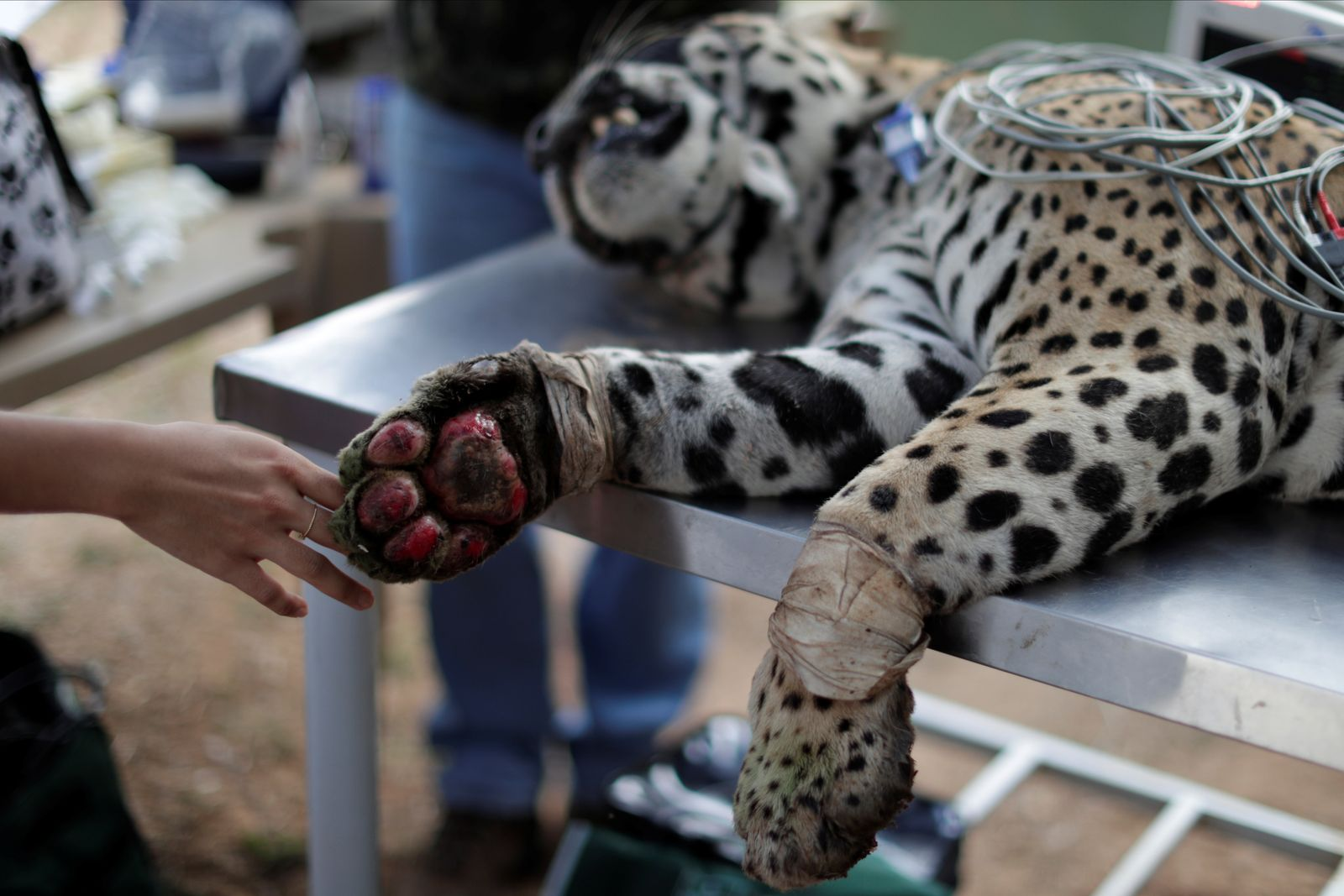 An adult male jaguar named Ousado receives treatment for burn injuries on his paws after a fire in Pantanal, at NGO Nex Institute in Corumba de Goias