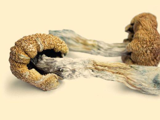 Psilocybin ist unter anderem in Pilzen der Gattung Kahlkopf enthalten. Der Stoff bewirkt einen psychedelischen Rausch