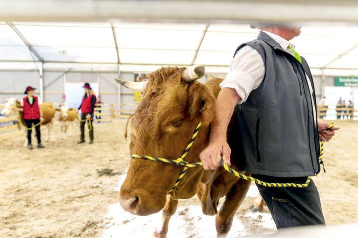 Das Limpurger Rind, auch Leintäler genannt, ist die älteste Rinderrasse Württembergs.