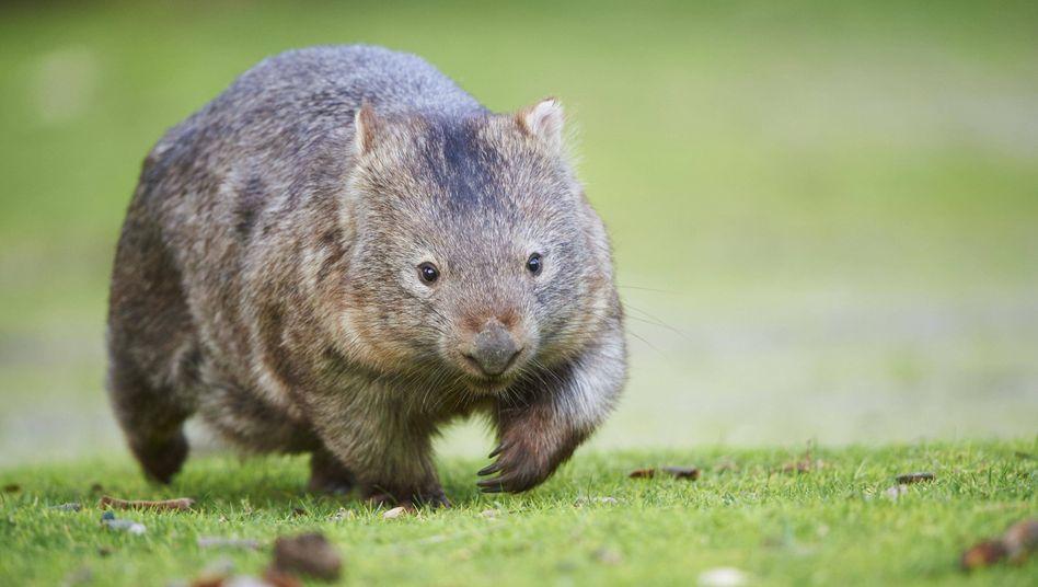 Wombat (Archivbild)