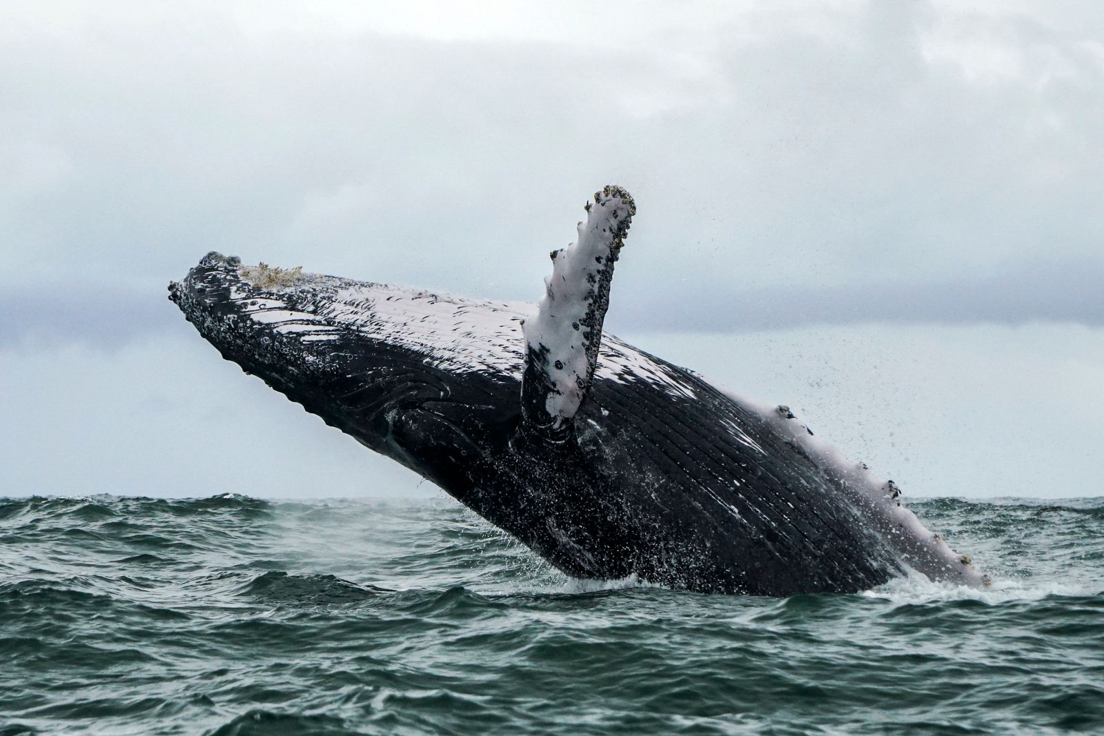 COLOMBIA-WILDLIFE-WHALE