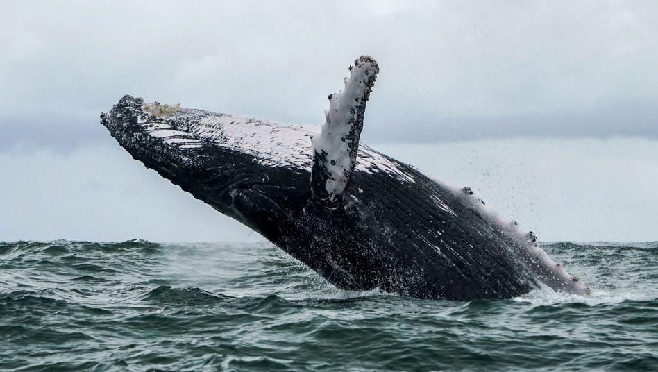 Buckelwale kommen oft in Küstennähe vor (Symbolbild)