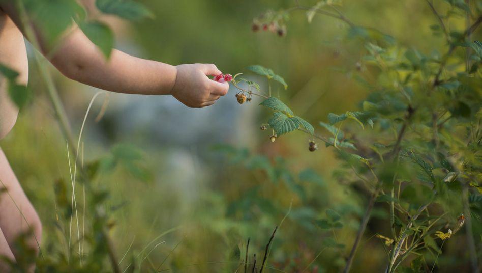 Kind pflückt Himbeeren