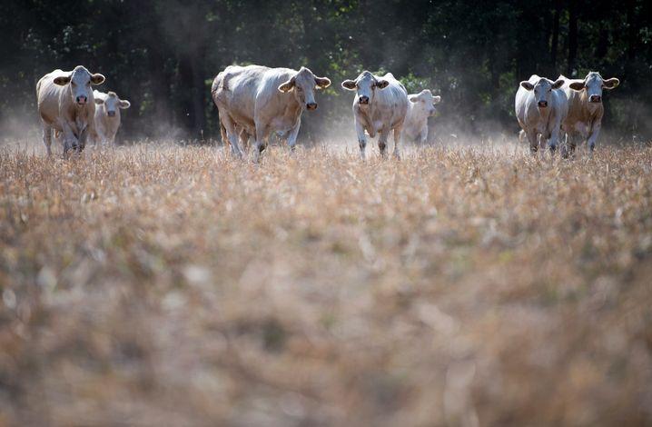 Kühe in Sachsen