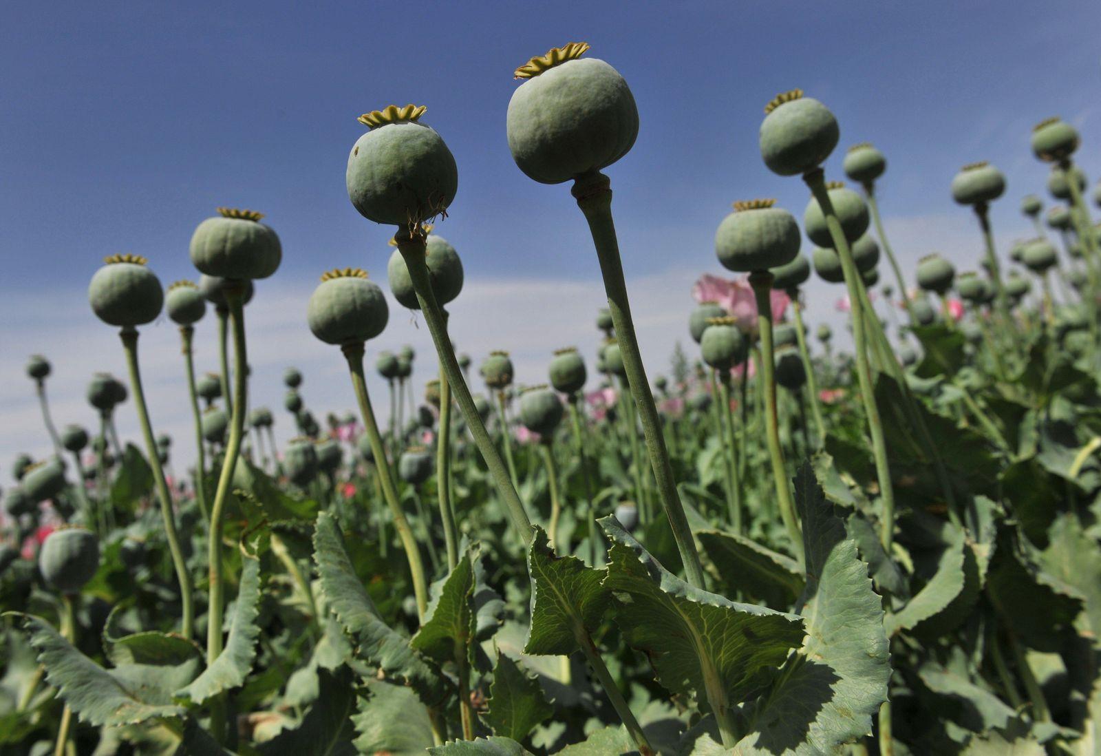 Opium / Afghanistan