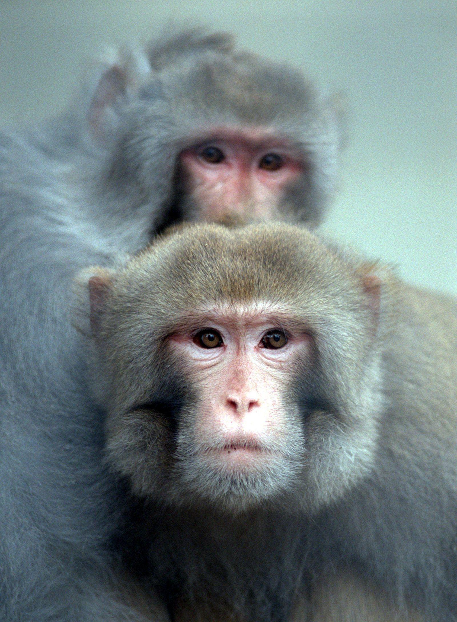 NUR FÜR SPAM Auch Affen können etwas Mathematik