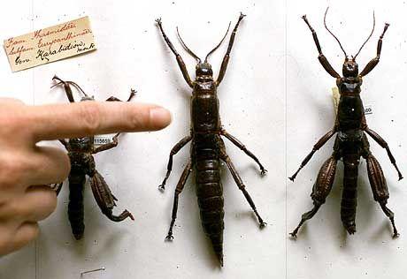 Konserviert: 80 Jahre altes Exemplar des Dryococelus australis