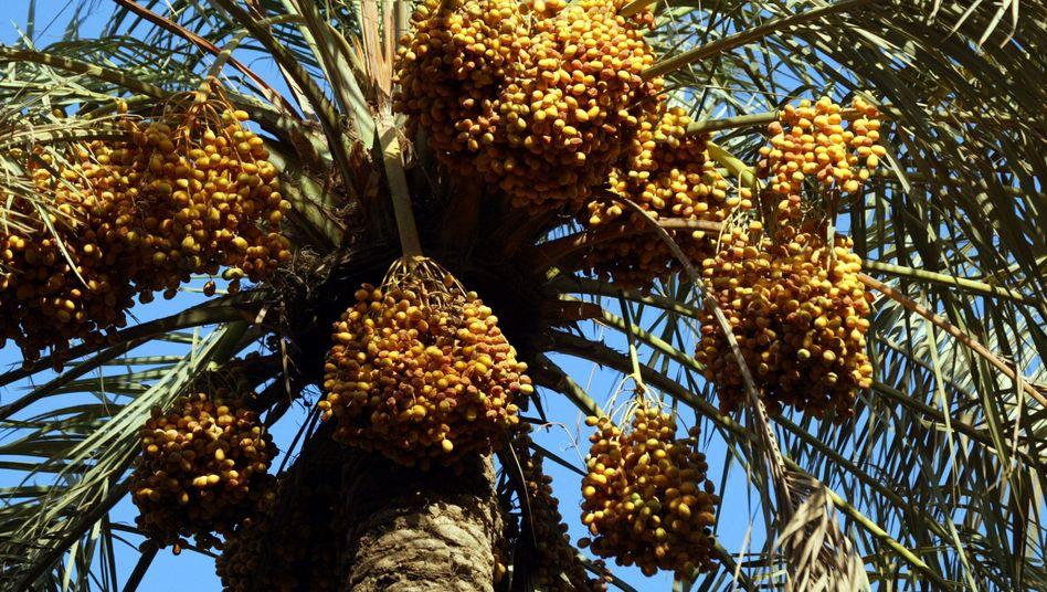 """Dattelpalme: Den Anbau von Pflanzen wie etwa Weizen haben viele saudi-arabische Landwirte inzwischen aufgegeben. Bis 2016 soll die Weizenproduktion im ganzen Land eingestellt werden. Dagegen sei die dürreresistente Dattelpalme eine """"geduldige Pflanze. Sie passt am besten in unser Klima"""""""