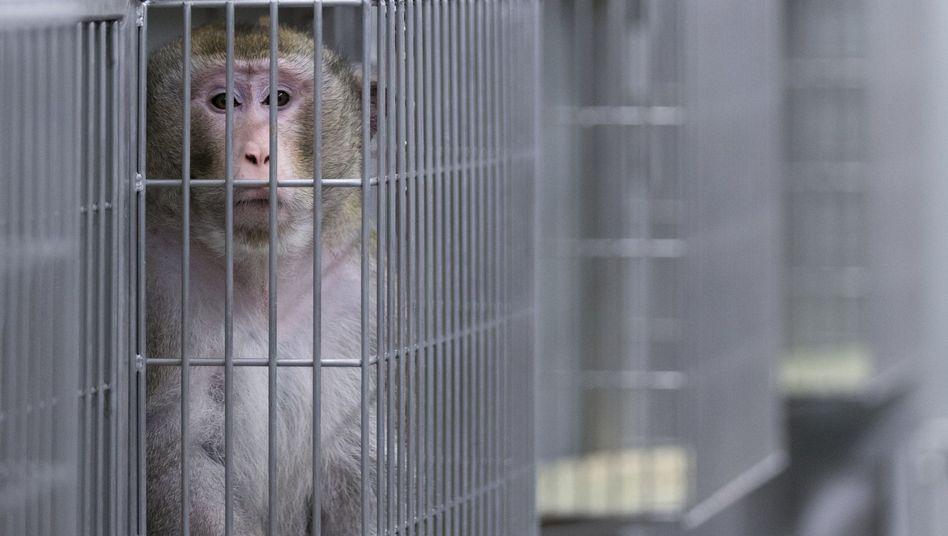 Makake (im Labor der Zentralen Tierexperimentellen Einrichtung der Uni Münster)