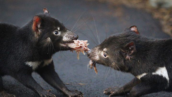 Tasmanischer Teufel: Vom Aussterben bedroht