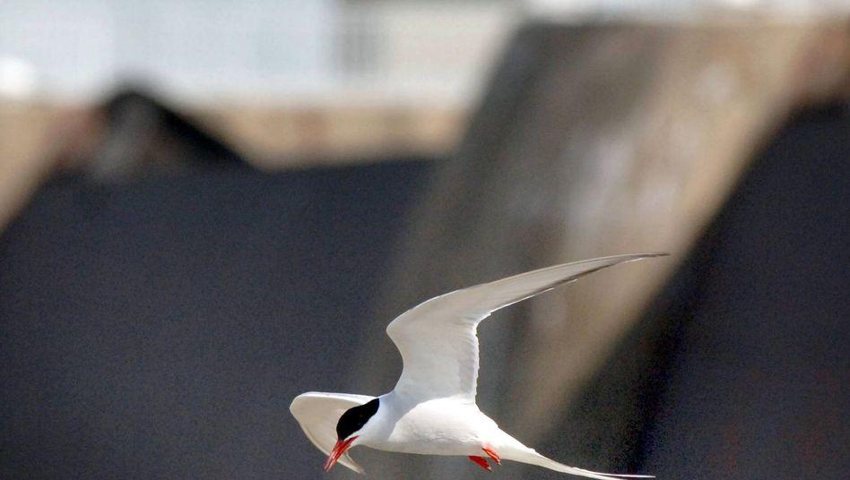 Küstenseeschwalbe: Es gibt keine Wirbeltiere mehr mit Hinterflügeln