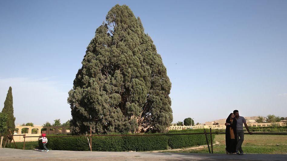 Zypresse von Abarqu in Iran: Die 4000 Jahre sieht man dem Baum nicht an